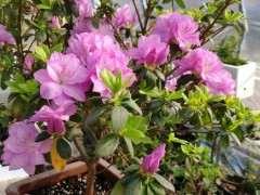 秋天买的蓝樱杜鹃下山桩开花了 图片