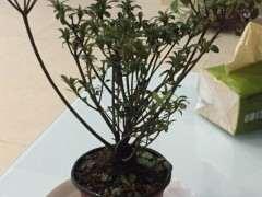 新买的杜鹃下山桩花需要洗根吗