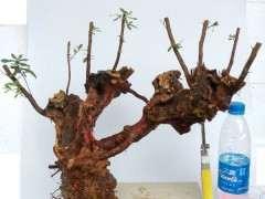 皋月杜鹃花下山桩和西鹃的养殖区别 图片