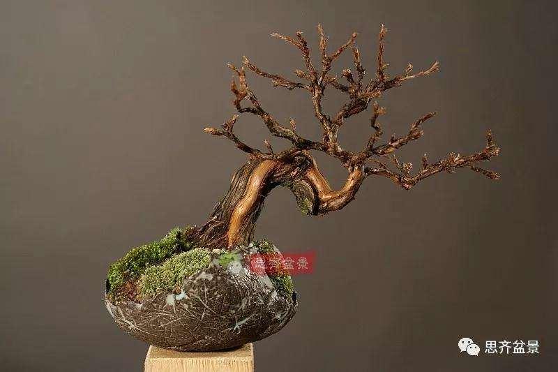 金露梅老桩怎么制作小品盆景的方法