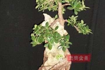 图解 榕树下山桩怎么制作抱石盆景