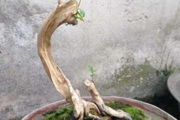 三角枫盆景怎么养桩的过程 图片