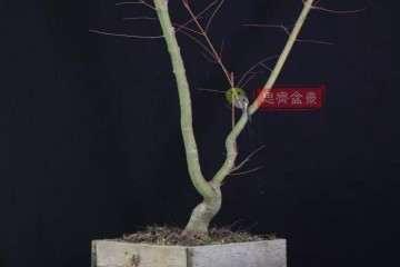 图解 红枫下山桩怎么翻盆修剪的方法