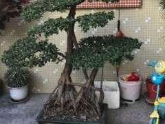 养了十多年榕树下山桩需要换盆吗 图片