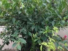 为什么榕树下山桩一定要长过气根 才行