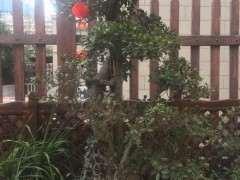 榕树下山桩在冬天怎么施肥的方法 图片