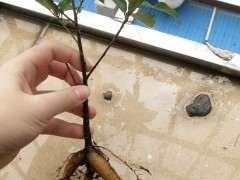 这是小叶榕树下山桩吗 帮忙看看 图片
