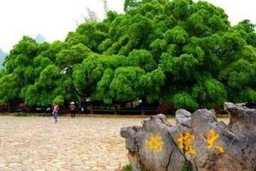 在厦门的你,听说过大榕树下山桩吗?