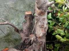 为什么北方榕树下山桩养不出那么多气根