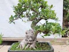 这棵榕树下山桩多少价钱合适 2800贵吗