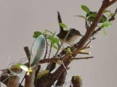 夏天榕树下山桩快死了怎么办 图片