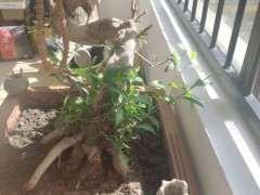一棵榕树下山桩 请问要怎么养 怎么修剪