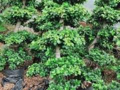 为什么春季嫁接榕树下山桩最好 图片
