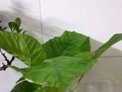 这最大叶子的榕树下山桩吧 图片