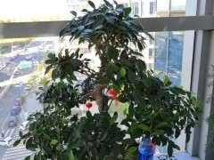 怎么在阳台养榕树下山桩的方法 图片