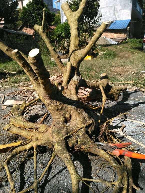 请问六角榕树下山桩好栽吗 图片