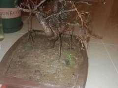 人参榕树下山桩怎么套袋倒栽的方法
