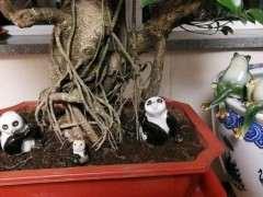 北方室内可以养榕树下山桩吗 图片