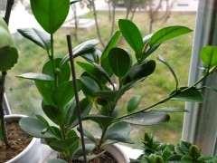 这是榕树下山桩要开花结果吗 图片