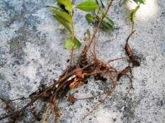 扯了三颗小榕树下山桩苗来扦插 看看如何