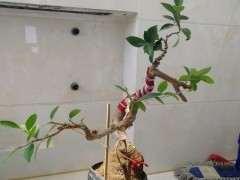 我怎么对小榕树下山桩 调形提根中 图片