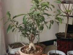 求指导小榕树下山桩怎么造型的方法 图片