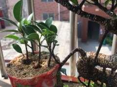 虎皮榕树下山桩以在枝条上养出气根 图片