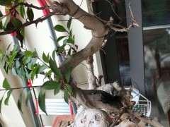 家里的榕树下山桩开始掉叶子 怎么办