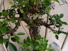 北方榕树下山桩怎么催气根的方法