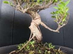 虎皮榕树下山桩 还需要修剪吗 图片