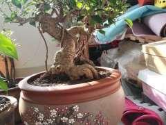 虎皮榕树下山桩可以吗 图片