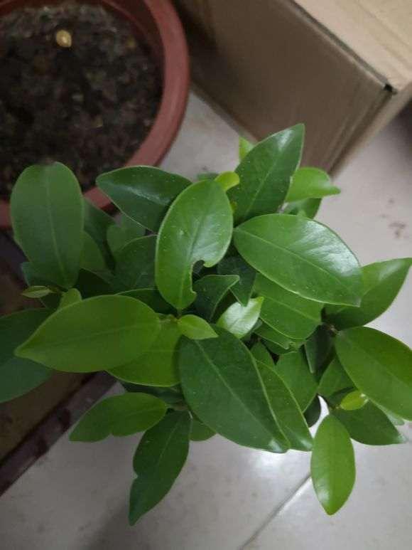 我40块钱买了一颗原生榕树下山桩 贵吗