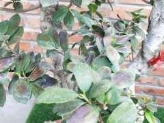 榕树下山桩的叶子像长了铁锈一样 怎么办