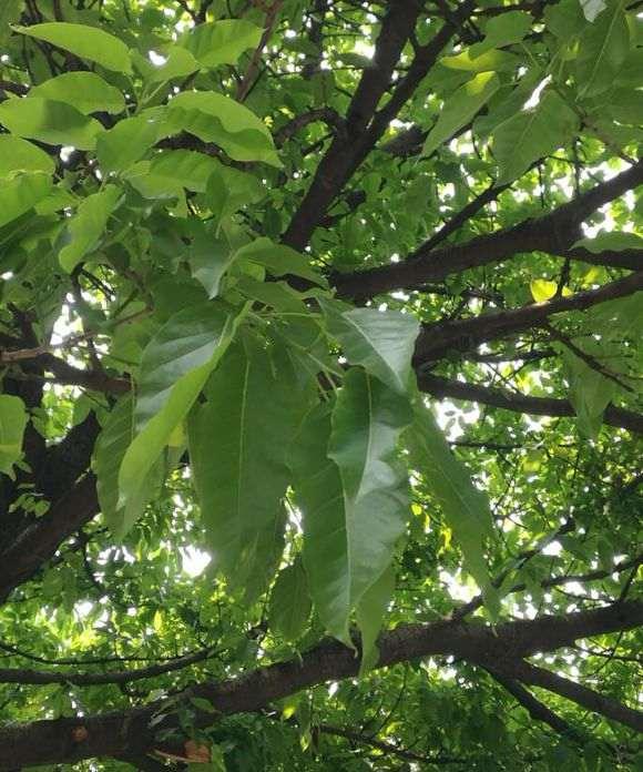 大叶榕树下山桩怎么发芽的过程