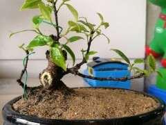 修剪下来的榕树下山桩小老枝 扦插活了