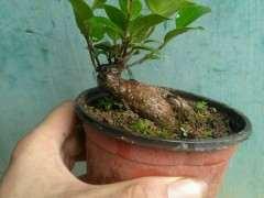 榕树下山桩怎么扦插控水的方法 图片