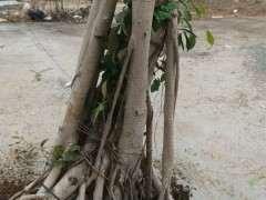 榕树下山桩哪个品种比较耐寒 图片