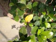 榕树下山桩树叶发黑 黄变特别多 怎么办