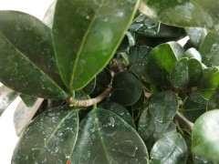 榕树下山桩适合什么土栽培最好 图片