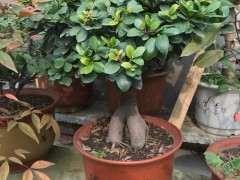 人参榕树下山桩 买来以后 叶子长的很茂盛