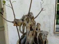 路边捡的榕树下山桩 大部分已枯死 图片