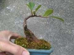 扦插6年的小叶榕树下山桩 怎么样 图片