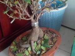 榕树下山桩要施什么肥 多久施肥一次 图片