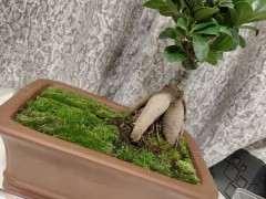 为什么榕树下山桩用纯泥炭土最好 图片