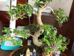 这到底是是榕树下山桩 还是小叶女贞 图片