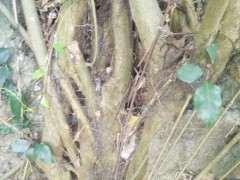 小叶榕树下山桩和虎皮榕哪个品种好 图片