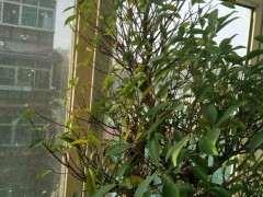 台湾虎皮榕树下山桩在秋天自动落叶子吗
