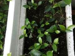 二月扦插的台湾虎皮榕树下山桩 可以活吗