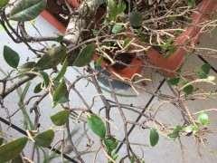 北方室内养的榕树下山桩 每天不断落叶