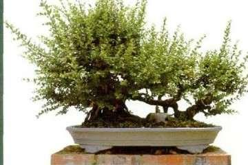 图解 雀梅盆景怎么裁枝截干的方法